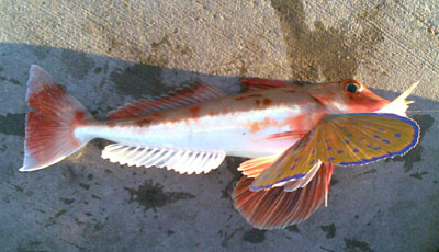 Red Gurnard in Port Hacking