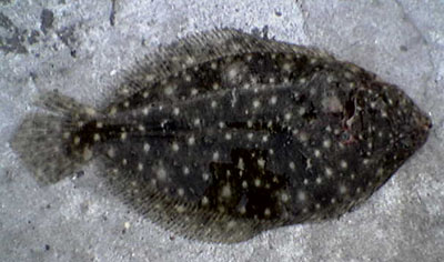 Flounder caught at Port Hacking