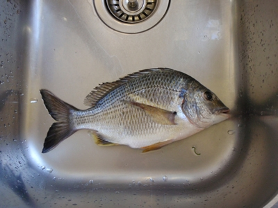 Bream from Georges River