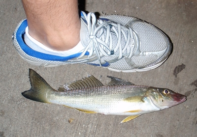 Whiting from Parramatta River