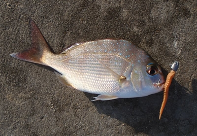 Snapper from Port Hacking